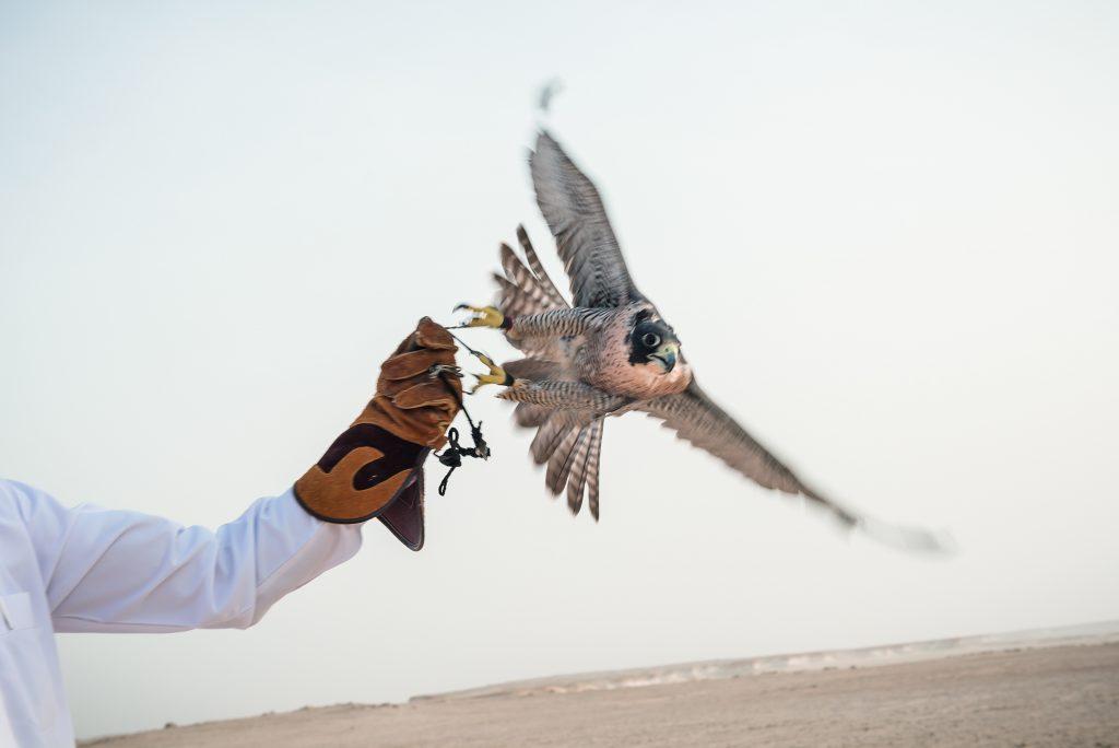 Qatar Falcon